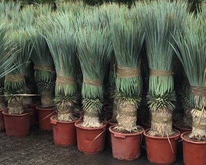 Yucca rostrata 40/50 cm trunk