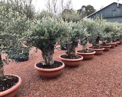 Olea Europaea Mediterranean Trees Com