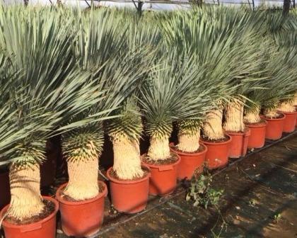 Beaked Yucca (Yucca rostrata)