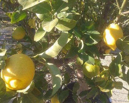 Citrus limon (number 2)