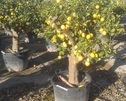 Citrus limon (number 3)
