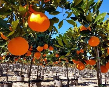 Citrus reticulata - Mandarino