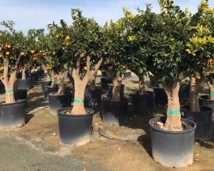 Citrus sinensis (number 2)