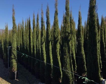 Cypresses (Cupressus sempervirens)