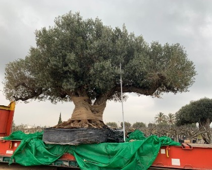 Huge Olive tree for Kuwait