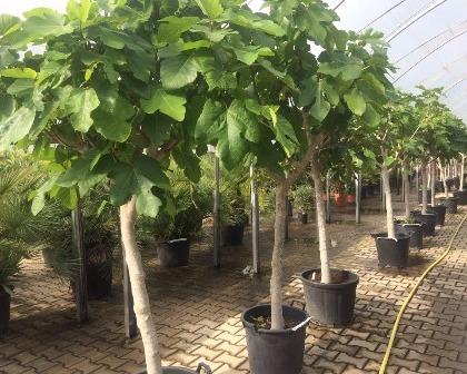 Ficus carica 12/14 (number 2)