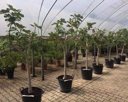 Ficus carica 12/14 (number 3)