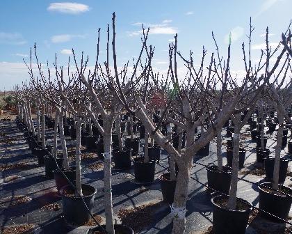 Ficus carica 12/14 (number 4)
