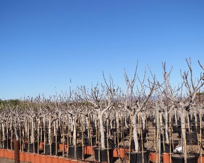 Ficus carica 16/18