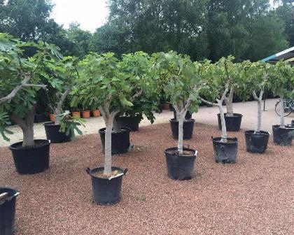 Ficus carica 20/25