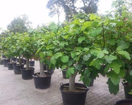 Ficus carica 40/50 (number 1)