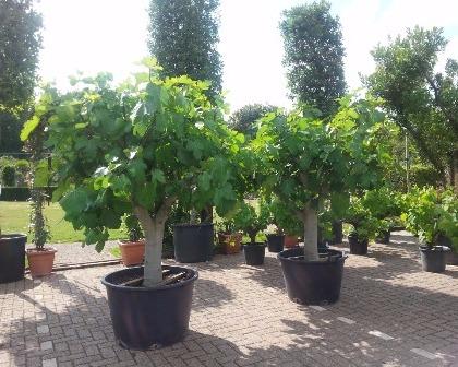 Ficus carica 40/50 (number 3)