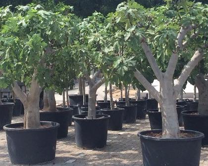 Ficus carica 50/60 (number 1)