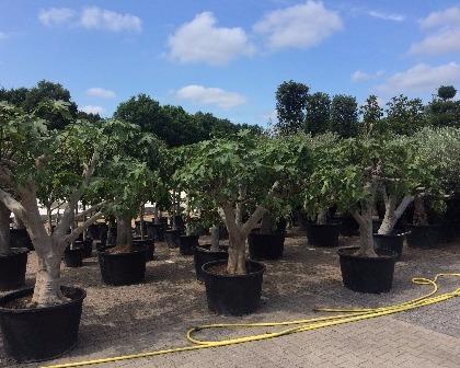 Ficus carica 50/60 (number 2)