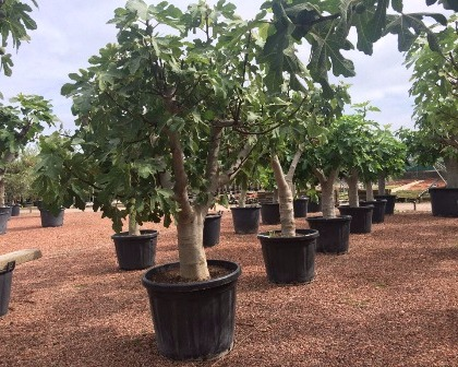 Ficus carica 50/60 (number 3)