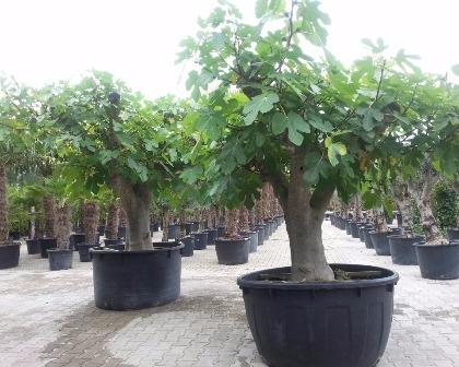 Ficus carica 80/100