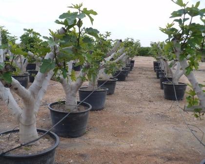 Fig trees (Ficus carica)