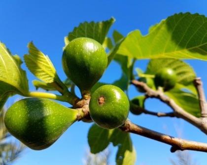 Fruit of the Ficus carica