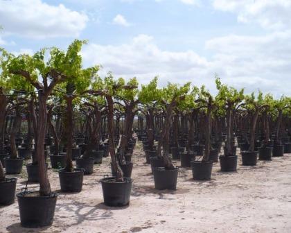 Grapevine (Vitis vinifera)