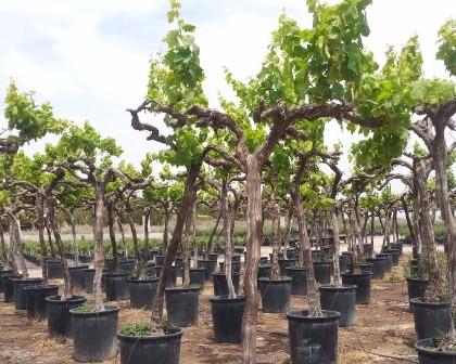 Grapevines Vitis vinifera alto
