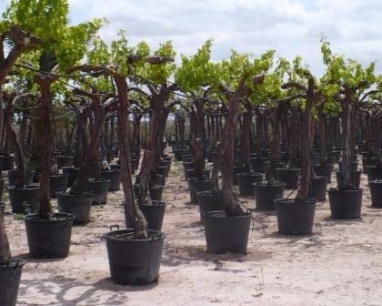 Grapevines Vitis vinifera 30/40
