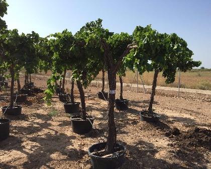 Grapevines Vitis Vinifera