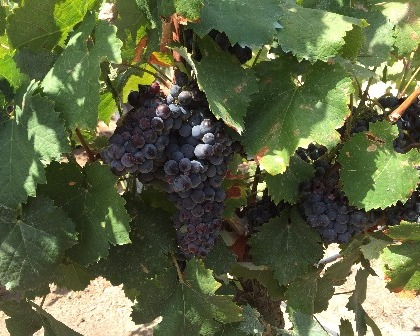 Grapevines Vitis vinifera fruit