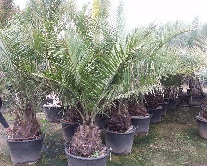 Jubea chilensis palm