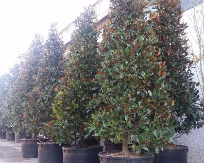 Magnolia grandiflora Gallisoniensis 6 meter