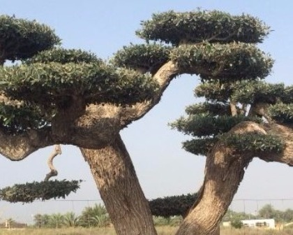 Olea europaea bonsai platos