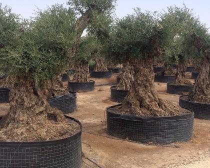 Olea europaea Lechin 220/240 Olive tree