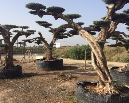 Olea europaea macro bonsai