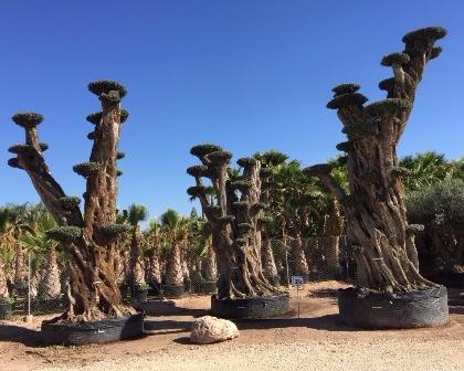 Olea europaea tall olive tree