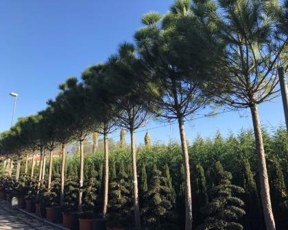 Pine trees (Pinus pinea)