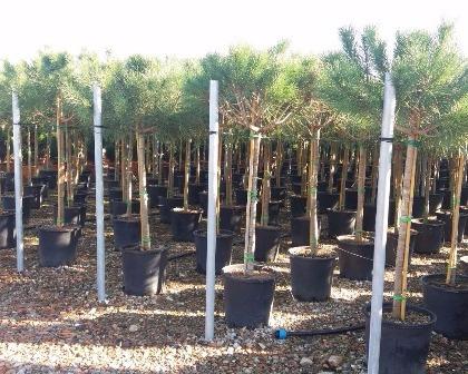 Pinus pinea 1/2 trunk