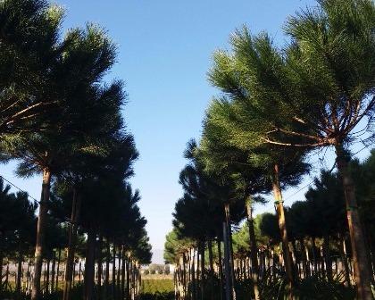 Pinus pinea 14/16 (number 1)