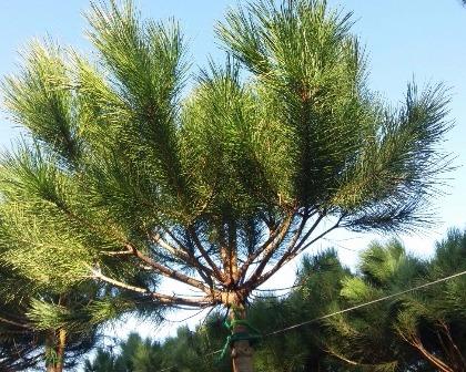 Pinus pinea 14/16 (number 2)