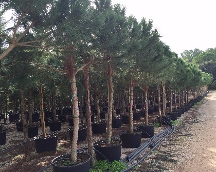 Pinus pinea 20/25 (number 1)
