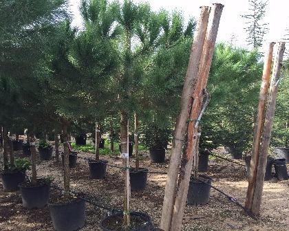 Pinus pinea 20/25 (number 2)