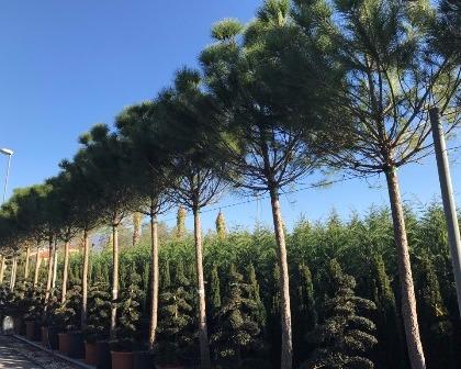 Pinus pinea 30/35 high trunk