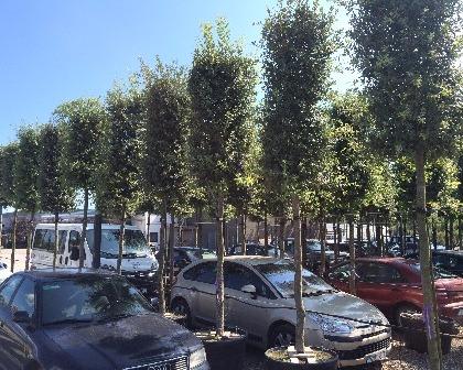 Quercus ilex 12/14