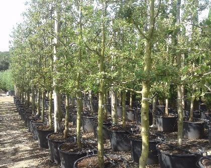 Quercus ilex 18/20