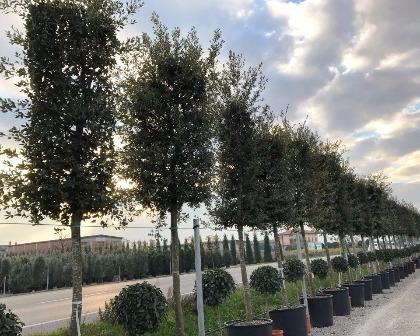 Quercus ilex 20/30