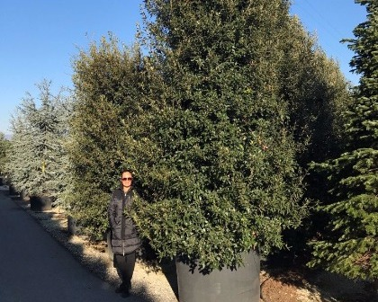 Quercus ilex bush 400/500 cm (number 2)