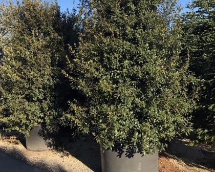 Quercus ilex bush 400/500 cm
