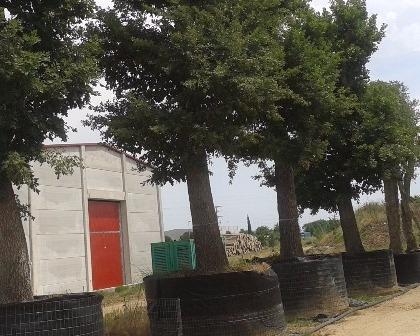 Quercus ilex ejemplares (number 2)