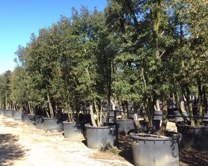 Quercus ilex ejemplares