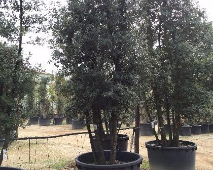 Quercus ilex multitronco ejemplar