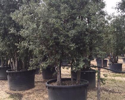 Quercus ilex multitrunk