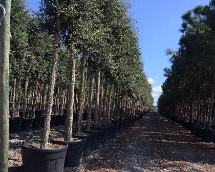 Quercus suber 18/20 (number 2)